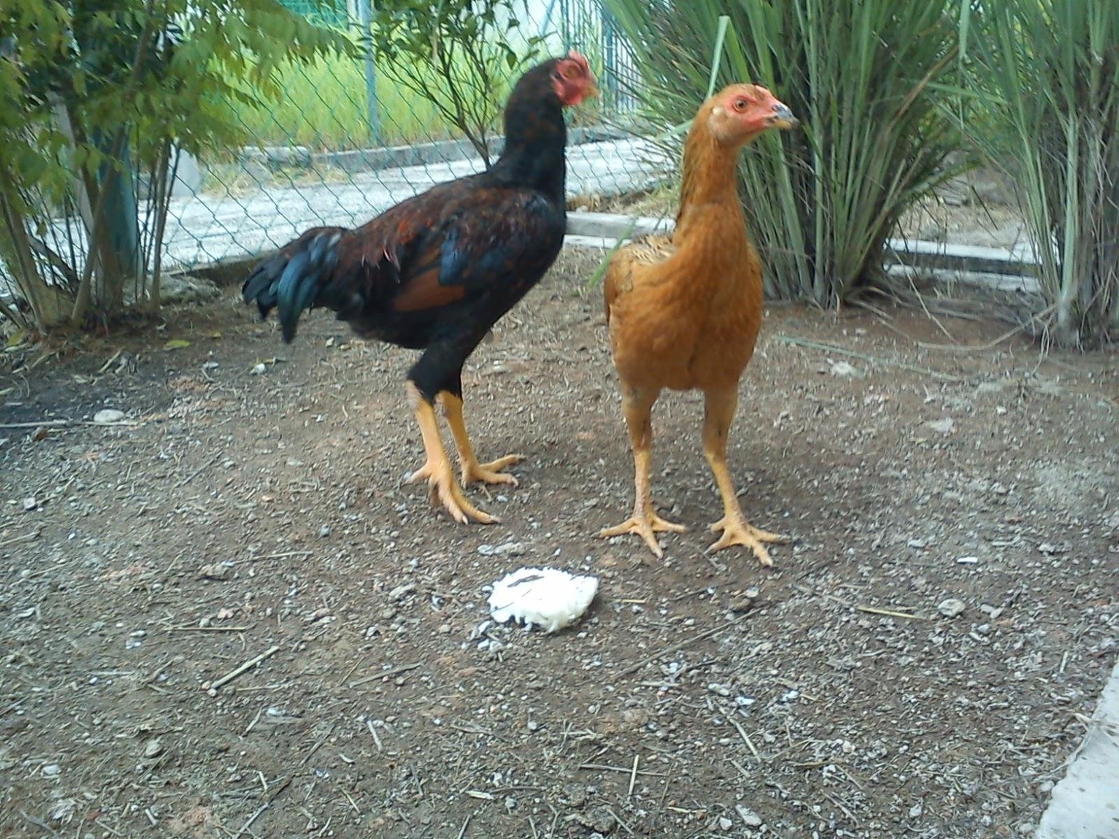 Tips Cara Memilih Indukan Ayam Kampung yang Baik dan ...