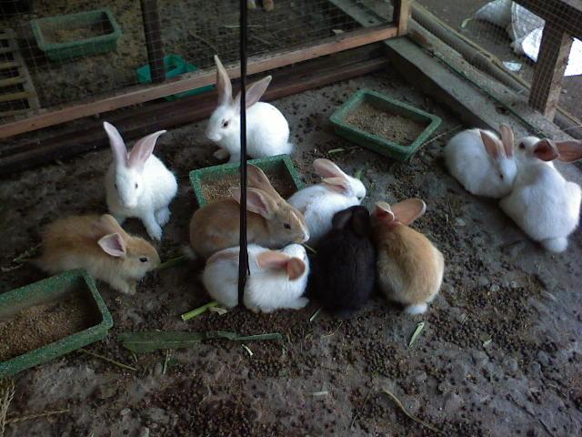 Cara memilih bibit kelinci yang simpel tapi benar
