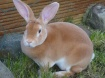 cara memilih induk kelinci