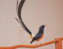 Ciri Ciri Burung Murai Batu Medan