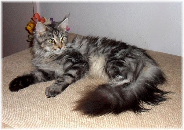 Hasil gambar untuk Ciri – ciri Kucing Maine Coon Asli