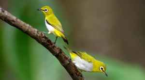 Tips Cara Merawat Burung Pleci