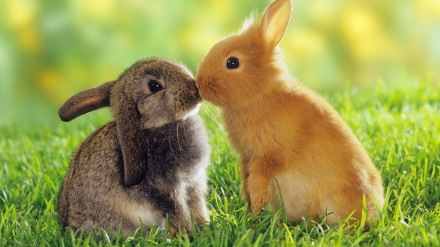 Tips membiakkan kelinci