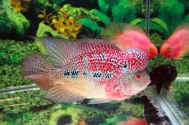 Cara memelihara ikan louhan agar cepat jenong