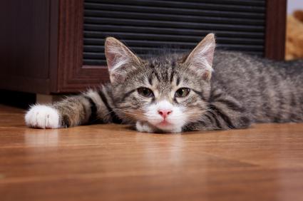 Cara mengetahui kucing sakit