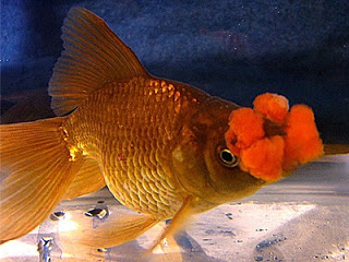 Jenis ikan koki yang populer dan berbentuk langka
