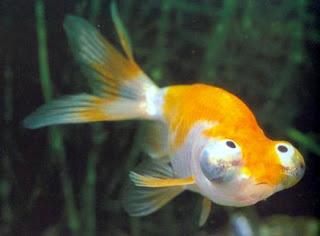 Jenis-jenis ikan mas koki yang biasa ditemukan di ...
