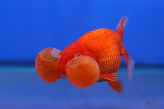 Jenis-jenis ikan mas koki yang biasa ditemukan di Indonesia