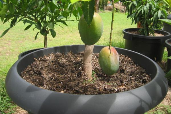 Komposisi tanah yang tepat untuk tanaman buah dalam pot