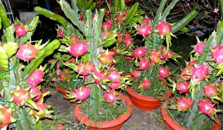 Tips dan jenis pupuk yang baik untuk buah naga